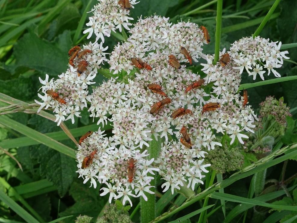 meer kennis minder gewasbeschermingsmiddelen: weekschildkevers ook wel soldaatjes genoemd  worden aangetrokken met de akkerranden en eten graag bladluizen